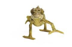 Jackson's Chameleon Royalty Free Stock Image