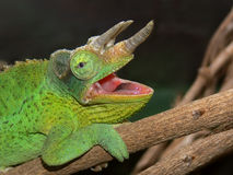 A Jackson's Chameleon. A horned Jackson's Chameleon perched on a branch Stock Image