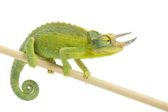 Jackson�s Chameleon Stock Photography