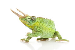 Free Jackson��s Chameleon Stock Image - 9854821