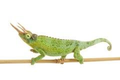 Jackson��s Chameleon Royalty Free Stock Photos