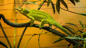 Jackson's chameleon Stock Photo