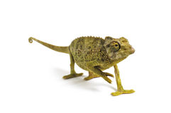 Jacksons Chameleon - Chamaeleo jacksonii Royalty Free Stock Image