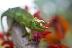 Jackson& x27;s Chameleon royalty free stock photography