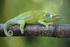 Jackson`s horned chameleon royalty free stock image