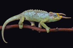 Jackson's chameleon (Trioceros jacksonii merumontanus). Is the smallest subspecies of these weird lizards Stock Photos