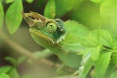 Jackson tre-horned kameleont Royaltyfri Bild