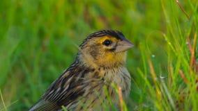 Jackson widowbirds samiec chce szturmanu skakać imponować damy, sawanna, Afryka fotografia stock