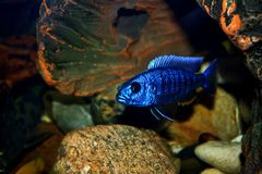 Jacksoni de Haplochromis Imagen de archivo libre de regalías