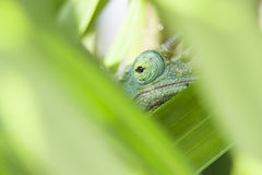 Jacksons Cameleon Eye Royalty Free Stock Photography