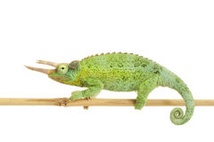 Jackson��s Chameleon Royalty Free Stock Photos