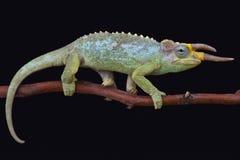 Jacksons kameleont (den Trioceros jacksoniimerumontanusen) Arkivfoton