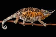 Jacksons kvinnlig för kameleont (Trioceros jacksoniijacksonii) Arkivfoton