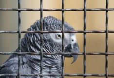 Jaco papegoja i en bur Arkivbild