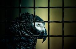 Jaco papegoja i en bur tonat Arkivbilder