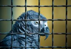 Jaco papegoja i en bur tonat Arkivfoto