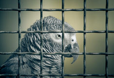 Jaco parrot in a cage. Toned Stock Images