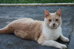 Jacob the Dilute Tabby Cat Royalty Free Stock Images