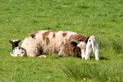 Jacob Ewe resting with twin lambs Stock Photography