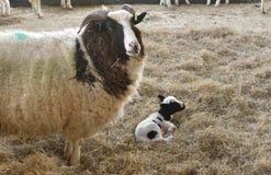 Free Jacob Ewe Sheep With Lamb In Lambing Shed Stock Image - 185076411