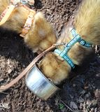 Ferret, Sable, male walking on his lead royalty free stock photo
