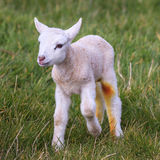 A Jacob Lamb Royalty Free Stock Photography