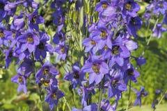 Jacob's ladder. Flowers of Jacob's ladder (Polemonium) in a garden Stock Image