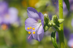 Jacob's ladder. Flowers of Jacob's ladder (Polemonium) in a garden Royalty Free Stock Photo