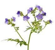 Jacob's Ladder or Greek valerian. (Polemonium caeruleum) isolated on white Royalty Free Stock Images