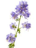 Jacob's Ladder or Greek valerian. (Polemonium caeruleum)isolated on white Royalty Free Stock Photo