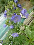 Jacob`s-ladder, Greek valerian, Polemonium caeruleum. Perennial herb with pinnate compound leaves and lavender to blue cap shaped flowers in terminal spreading Royalty Free Stock Photography