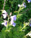 Jacob`s-ladder, Greek valerian, Polemonium caeruleum. Perennial herb with pinnate compound leaves and lavender to blue cap shaped flowers in terminal spreading Stock Photography