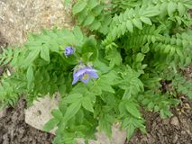 Jacob`s-ladder, Greek valerian, Polemonium caeruleum. Perennial herb with pinnate compound leaves and lavender to blue cap shaped flowers in terminal spreading Stock Photo