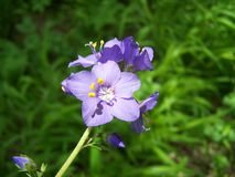 Jacob's Ladder or Greek valerian (Polemonium caeruleum) Stock Images
