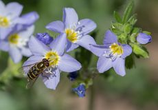 Jacob` s Ladder & Hoverfly stock foto's