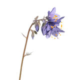 Jacob`s ladder plant or Polemonium caeruleum - medicinal plant isolated on white background. Jacob`s ladder plant Polemonium caeruleum - medicinal plant isolated Stock Images