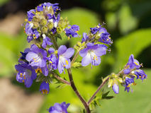 Free Jacob S-ladder (Polemonium Caeruleum) Royalty Free Stock Photography - 54124927