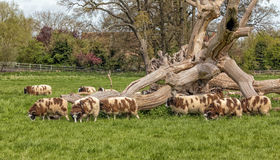 Jacob`s Sheep Grazing, Warwickshire, England. Royalty Free Stock Photo