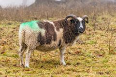 Jacob Sheep - aries do Ovis que alimenta em um dia nevoento no outono atrasado foto de stock royalty free