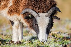 Jacob Sheep Grazing. Portrait of a Jacob Sheep `Ovis aries` grazing on a sunny but frosty day in early January Royalty Free Stock Photography