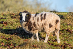 Jacob Sheep Looking. Jacob Sheep `Ovis aries` grazing on a sunny but frosty day in early January Royalty Free Stock Image