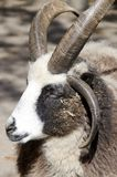 Jacob Sheep. A naturally four horned breed of sheep, this Jacob Sheep is the most common color scheme for them of black and white Royalty Free Stock Photo