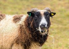 Jacob Sheep -  Ovis aries feeding on hay. Jacob Sheep `Ovis aries` feeding on hay provided for them especially over the autumn and winter months Stock Photo