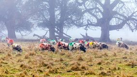 Jacob Sheep -  Ovis aries on a foggy day in late autumn.. Multi coloured Jacob Sheep ewes `Ovis aries` feeding on a foggy day in late autumn. Sheep are marked Stock Images