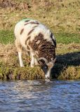 Jacob Sheep - Ovis aries having a drink. Jacob Sheep - Ovis aries on a sunny early January day having a drink form a parkland pool Royalty Free Stock Photos
