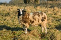 Jacob Sheep -  Ovis aries Standing and Looking. Jacob Sheep `Ovis aries` grazing on a sunny late autumn day in a Warwickshire parkland Stock Images