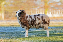 Jacob Sheep Posing. Jacob Sheep `Ovis aries` posing on a sunny but frosty day in early January Royalty Free Stock Image