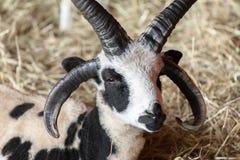 Jacob Sheep Stock Images