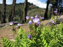 Jacob stege blommar på berget Ridge royaltyfri fotografi