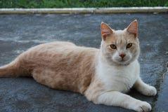 Jacob Tabby Cat diluída Imagens de Stock Royalty Free